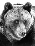 BB_20180417_0613-2 / Ursus arctos / Brunbjørn
