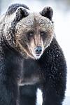BB_20180418_0157 / Ursus arctos / Brunbjørn