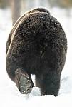 BB_20180418_0171_ / Ursus arctos / Brunbjørn