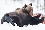 BB_20180418_0185 / Corvus corax / Ravn <br /> Ursus arctos / Brunbjørn