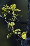 BB_20180519_0027 / Sorbus aucuparia / Rogn