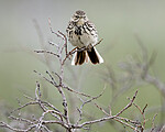 BB_20180622_0524 / Anthus pratensis / Heipiplerke