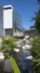 BB_20180702_0073 / Calopteryx virgo / Blåvingevannymfe