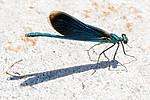 BB_20180702_0293 / Calopteryx virgo / Blåvingevannymfe