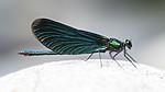 BB_20180712_0221 / Calopteryx virgo / Blåvingevannymfe