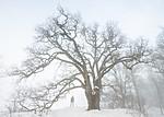BB_20190120_0043-2 / Quercus robur / Sommereik