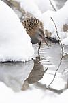 BB_20190129_0042 / Rallus aquaticus / Vannrikse