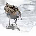 BB_20190129_0323 / Rallus aquaticus / Vannrikse