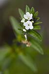 BB_20190515_0019 / Buglossoides arvensis / åkersteinfrø
