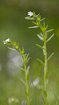 BB_20190515_0078 / Buglossoides arvensis / åkersteinfrø
