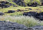BB_20190731_0035 / Lepidium latifolium / Strandkarse <br /> Phedimus spurius / Gravbergknapp