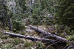 BB_20191027_0048 / Picea abies / Gran