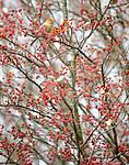 BB_20191103_0348 / Pinicola enucleator / Konglebit <br /> Sorbus intermedia / Svensk asal