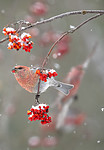 BB_20191110_0236 / Pinicola enucleator / Konglebit <br /> Sorbus aucuparia / Rogn