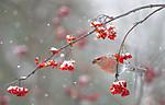 BB_20191110_0243 / Pinicola enucleator / Konglebit <br /> Sorbus aucuparia / Rogn