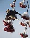 BB_20191202_0504 / Bombycilla garrulus / Sidensvans <br /> Sorbus aucuparia / Rogn