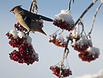 BB_20191202_0505 / Bombycilla garrulus / Sidensvans <br /> Sorbus aucuparia / Rogn