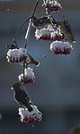 BB_20191202_0523 / Bombycilla garrulus / Sidensvans <br /> Sorbus aucuparia / Rogn