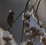 BB_20191202_0548 / Bombycilla garrulus / Sidensvans <br /> Sorbus aucuparia / Rogn