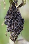 BB_20200622_0033 / Aglais urticae / Neslesommerfugl <br /> Urtica dioica / Stornesle