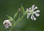 BB_20200719_0367 / Silene noctiflora / Nattsmelle