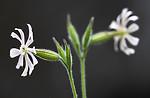 BB_20200719_0514 / Silene noctiflora / Nattsmelle