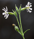 BB_20200719_0532 / Silene noctiflora / Nattsmelle