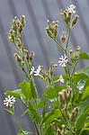 BB_20200719_0534 / Silene noctiflora / Nattsmelle