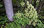 BB_20200809_0106 / Laserpitium latifolium / Hvitrot