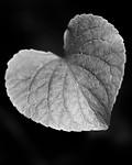 BB_20200810_0065-2 / Viola mirabilis / Krattfiol