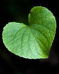 BB_20200810_0065 / Viola mirabilis / Krattfiol