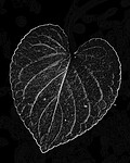 BB_20200810_0086_1 / Viola mirabilis / Krattfiol