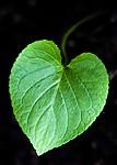 BB_20200810_0089 / Viola mirabilis / Krattfiol