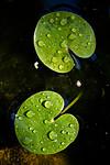 BB_20200822_0008 / Hydrocharis morsus-ranae / Froskebitt