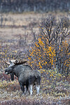 BB_20200927_0092 / Alces alces / Elg