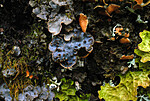 DSC_0803 / Collema actinoptychum <br /> Dendriscocaulon intricatulum <br /> Lobaria hallii / Fossenever <br /> Lobaria pulmonaria / Lungenever <br /> Lobaria scrobiculata / Skrubbenever