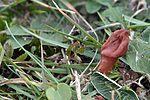 DSC_1218 / Microglossum fuscorubens / Kobbertunge