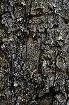 DSC_5356 / Cyphelium inquinans / Gråsotbeger
