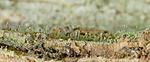 DSC_5427 / Chaenotheca laevigata / Taiganål