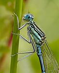 DSC_5509 / Platycnemis pennipes / Elvevannymfe