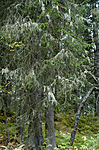 DSC_7202 / Ramalina thrausta / Trådragg