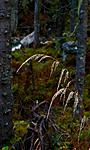DSC_7626 / Cinna latifolia / Huldregras