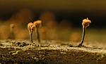 DSC_7801 / Sclerophora coniophaea / Rustdoggnål