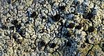 DSC_7822 / Cyphelium inquinans / Gråsotbeger