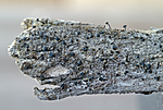 DSC_7850 / Cyphelium karelicum / Trollsotbeger