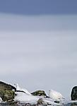 DSC_8308_2 / Lagopus muta / Fjellrype