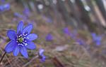 DSC_8864 / Hepatica nobilis / Blåveis
