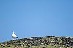 KA_05_1_2602 / Lagopus muta / Fjellrype