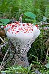 KA_05_1_4907 / Hydnellum peckii / Skarp rustbrunpigg