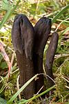 KA_05_1_5905 / Trichoglossum hirsutum / Svartlodnetunge